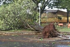 Tree that fell after a storm in the urban area. old tree trunk fallen in the city. Tree fell after a storm in the urban area. old tree trunk fallen in city stock images