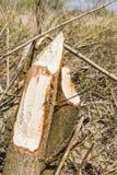 Tree felled by beaver Stock Photos