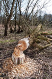 Tree felled by beaver in forest Stock Image