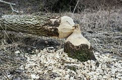 Tree felled by beaver Royalty Free Stock Photography