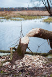 Tree felled by beavers Stock Images
