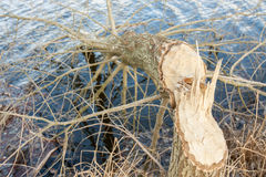 Tree felled by beavers Royalty Free Stock Photography