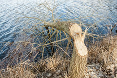 Tree felled by beavers Stock Photography