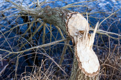 Tree felled by beavers Stock Image
