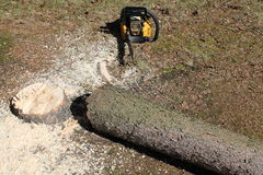 Tree felled by chainsaw. Closeup of newly felled tree next to chainsaw on ground Stock Photo