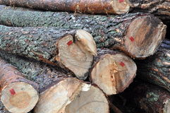Tree felled in the forest Stock Photography