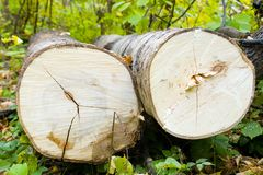 Tree felling. Recently cut trees. A tree felling royalty free stock photo