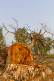 Tree felling cut. View of dead tree felling cut, broken down by country stock images