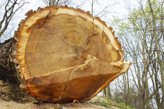 Tree felling Royalty Free Stock Photography