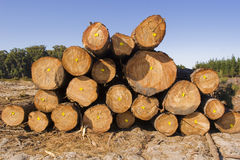 Tree felling in a forest Stock Photo