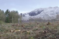 Tree felling forest and mountains trees chopped and removed in winter. Uk stock photo
