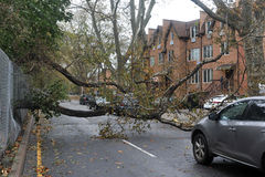 Tree felt down to the ground. BROOKLYN, NY - OCTOBER 29: Tree felt down to the ground in the Sheepsheadbay neighborhood due to flooding from Hurricane Sandy in Royalty Free Stock Images