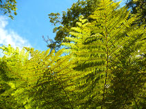 Tree Fern. In Abel Tasman National Park New Zealand Royalty Free Stock Photography
