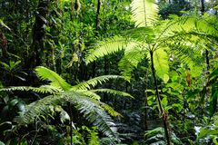 Tree fern in Amazonian rain forest Colombia. Lush green tropical vegetation royalty free stock photos