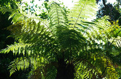 Tree Fern - backlit. The ubiquitous New Zealand Tree Fern or Punga; backlit to enhance the lush new young growth royalty free stock image
