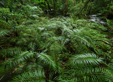 Tree fern Stock Photography