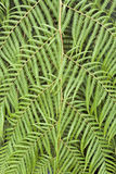 Tree Fern Cibotium cumingii Royalty Free Stock Images