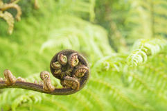 Tree Fern Fiddlehead Stock Images
