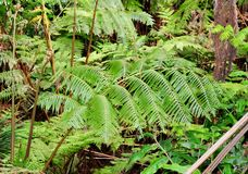 Tree fern frond in a Hawaiian tropical forest. Taken on the big island of Hawaii near Nanawale forest reserve Stock Images