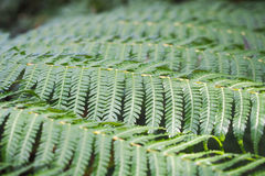 Tree Fern Fronds 1 Royalty Free Stock Photography
