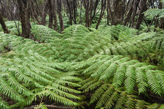 Tree fern growing in rainforest Royalty Free Stock Photography