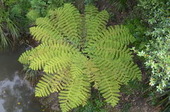 Tree Fern in Kiwi Bush Stock Photo
