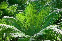 Tree fern leaves Royalty Free Stock Image