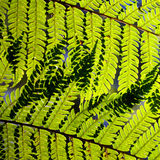 Tree-fern leaves in sunlight Stock Images