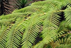 A tree fern, Madeira (Portugal) Stock Photo