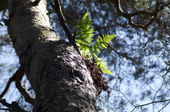 Tree fern. Fern plant growing high on a tree in the wild Scandinavian forest royalty free stock photo