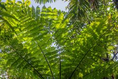 Tree fern in the rain forest on Dominica. Island stock photo