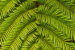 Tree fern. At a rain forest, Reunion Island Stock Images
