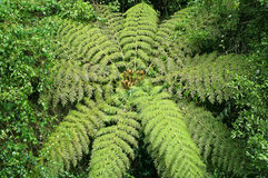 Tree fern in  the rainforest Stock Image