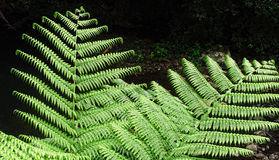Tree fern Royalty Free Stock Photo