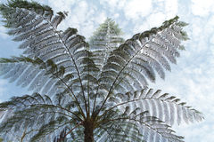 Tree fern silhouette Royalty Free Stock Photography