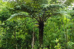 Tree fern in tropical forest Royalty Free Stock Photography