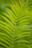 Tree ferns Royalty Free Stock Photography
