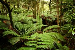 Tree ferns. Tasmanian tree ferns in the world heritage area stock photo