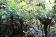 Tree ferns. In an Australian forest Stock Image