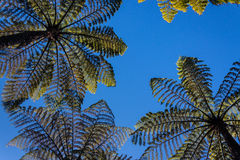 Tree ferns against blue sky Stock Images