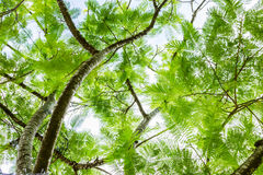 Tree ferns from below Royalty Free Stock Photo