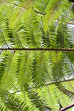 Tree ferns (cyathea lepifera) from below Royalty Free Stock Photos