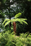 Tree Ferns (Cyatheales) Royalty Free Stock Photography