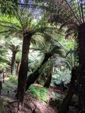 Tree ferns. Forest of Dicksonia Antartica  tree ferns Stock Photos
