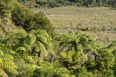 Tree ferns growing on marshes Royalty Free Stock Images