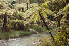 Tree ferns growing near river in Rotorua Stock Image