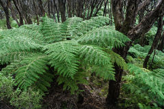 Tree ferns growing in rainforest Royalty Free Stock Photo