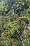 Tree ferns growing in rainforest Stock Photo