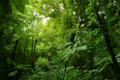 Tree ferns in jungle. Green tree ferns in tropical jungle Royalty Free Stock Photos