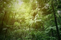 Tree ferns in jungle. Green tree ferns in tropical jungle Royalty Free Stock Photography
